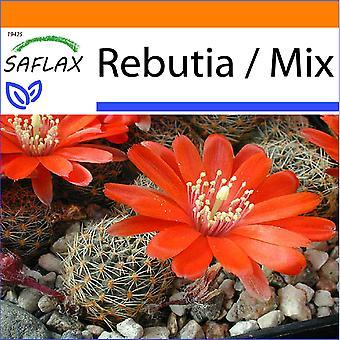 Saflax - tuin in de zak - 40 zaden - Rebutia - Cactus nain argentin - Rebutia - Rebutia - Argentinischer Zwergkaktus
