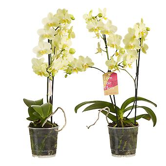 Choice of Green - Phalaenopsis multiflora Yellow - Set of 2 - Butterfly Orchid