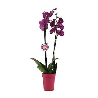 """MoreLIPS® - Phalaenopsis Orchidee """"Paars"""" in Plastic Decopot - Hoogte 55-65 cm - Potmaat: 12 cm - Kwaliteits Vlinderorchidee"""