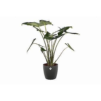 Olifantsoor ↕ 40 tot 90 cm verkrijgbaar met bloempot | Alocasia Zebrina