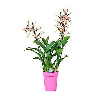 MoreLIPS® - Brassia 'Shelob Tolkien' - 2 tak -  in roze plastic decopot - hoogte 45-55 cm