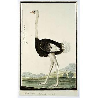 Impressão de cartaz de avestruz por Robert J Gordon