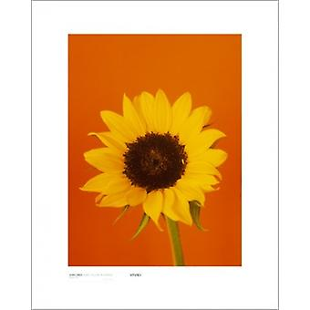 Sunflower Burnt Yellow On Orange Poster Print by Masao Ota (16 x 20)
