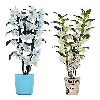 BOTANICLY Dendrobium Nobilé - Bamboo Orchid