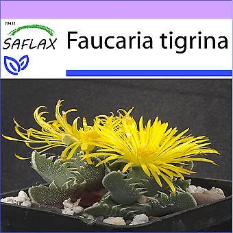 Saflax - 40 semi - Tiger mascella - Gueule de tigre - Faucaria tigrina - Boca de tigre - Echter Tigerrachen