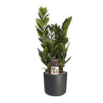 Plante ZZ ↕ 45 à 45 cm disponible avec jardinière | Zamioculcas Zamifoliia