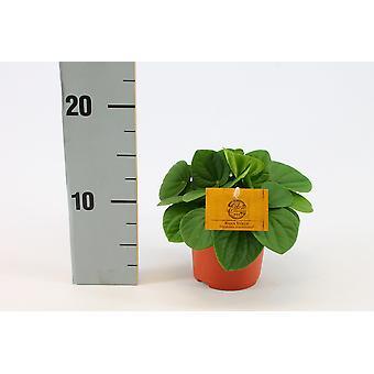 Zimmerpflanze von Botanicly – Zwergpfeffer – Höhe: 15 cm – Peperomia Rana Verde