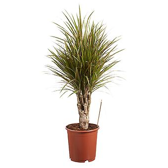 Indoor tree from Botanicly – Dragon tree bicolour – Height: 100 cm – Dracaena Marginata bicolour