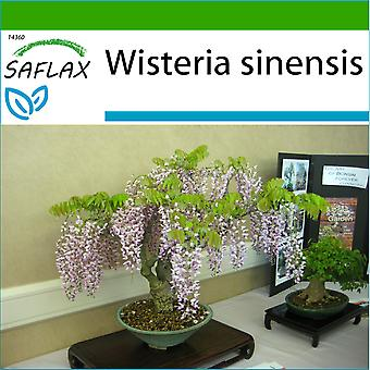 Saflax - 4 frø - med jord - Bonsai - blå kinesiske Wisteria - Glycine de Chine - Glicine - Glicinia - B - Blauregen