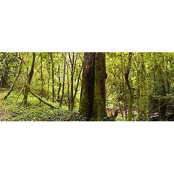 Trees with dense coverings of moss in the forests of Magoebakloof Tzaneen Limpopo Province South Africa Poster Print by Panoramic Images