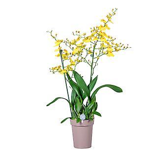 MoreLIPS® - Orchid -  Oncidium 'Munsterland' -  2 tak - in taupe decopot- hoogte 45-55 cm