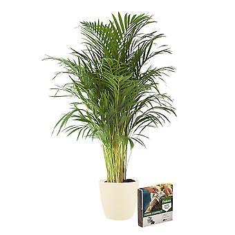 Pianta d'appartamento – Palma Areca in vaso crema + 10 L suolo come set – Altezza: 100 cm