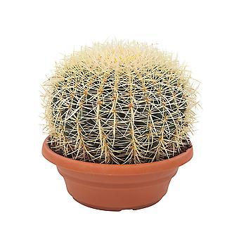 Kaktus i soczysta roślina – Golden Barrel Cactus – Wysokość: 30 cm