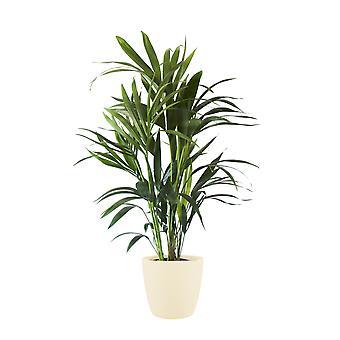 Zimmerpflanze – Kentiapalme in cremefarbenem Übertopf als Set – Höhe: 100 cm