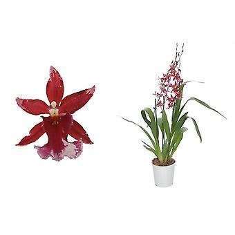 Cambria Orchid punainen ↕ 60 cm saatavilla planter | Cambria Barocco