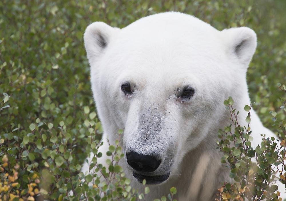 белый медведь в городе фото
