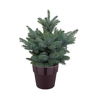 Picea Pungens Super Blue ↕ 50 cm saatavana istuttimen kanssa | Picea Pungens Super Sininen
