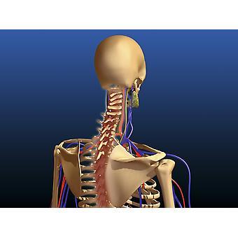 Vista traseira da coluna vertebral humana e escápula Poster Print