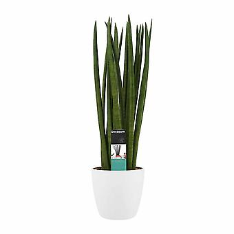 Plante d'intérieur de Botanicly – African Spear – Hauteur: 70 cm – Sansevieria Cylindrica Spaghetti