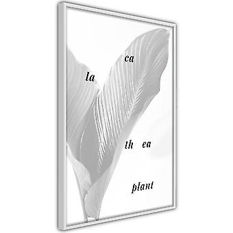 Poster - Calathea Plant [Poster]