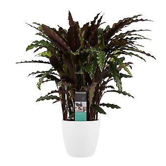Decorum Calathea Elgergrass met Elho brussel wit - Hoogte 50 - Diameter pot 20