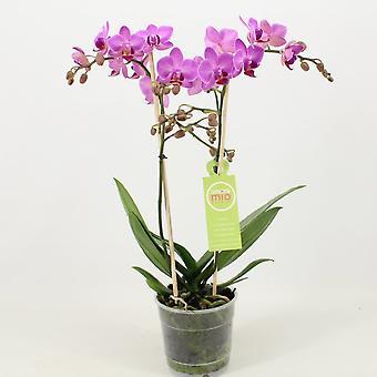 Orkidé – Sommerfugl orkidé – Højde: 45 cm, 1 stængel