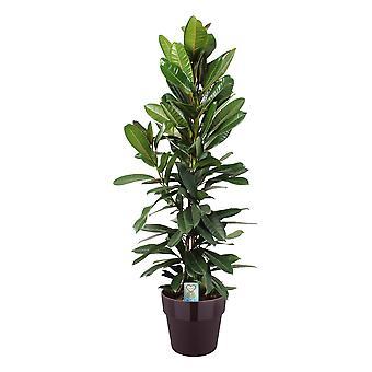 Birkenfeige ↕ 120 cm verfügbar mit Übertopf | Ficus Tresor