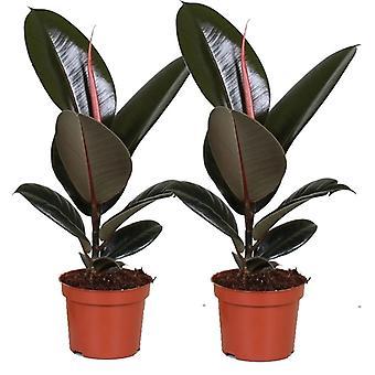 Plantas internas de Botanicly – 2 × Serna – Altura: 30 cm – Ficus Elastica Robusta