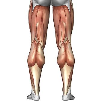 Diagram illustrating muscle groups on back of human legs Poster Print