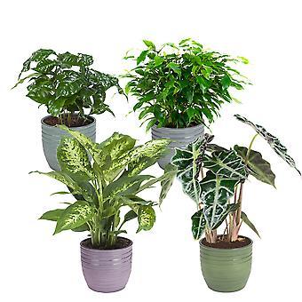 Kamerplanten – 4 × Ficus, Koffieplant, Olifantsoor of Skeletplant, Dieffenbachia – Hoogte: 25 cm
