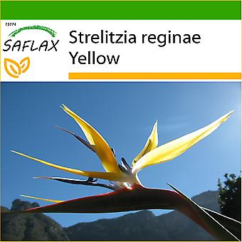 Saflax - 4 Samen - mit Boden - gelbe Strelitzia Mandela Gold - Oiseau de Paradis Jaune - Craigs Gold - Strelitzia Gialla - Ave del Paraíso - Gelbe Strelitzie - Craigs Gold