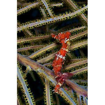 Punainen seahorse Karibian riutta Juliste Tulosta Karen DoodyStocktrek kuvia