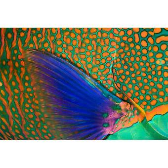 Indonesia lähikuva Papukaijakalat asteikot ja rintaevän Komodo PosterPrint