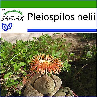 Saflax - 40 semi - con terreno - Pleiospilos Living granito - schisi Stone - tricolore - Piedras vivas - Lebender Granit