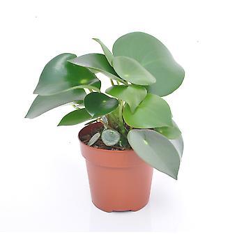 Radiator Anläggning ↕ 25 till 25 cm finns med planter | Peperomia obtusifolia