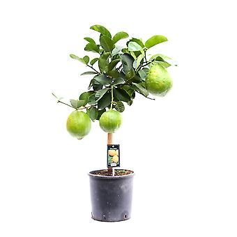 Indoor Plant from Botanicly – Pomelo – Height: 85 cm – Citrus Maxima