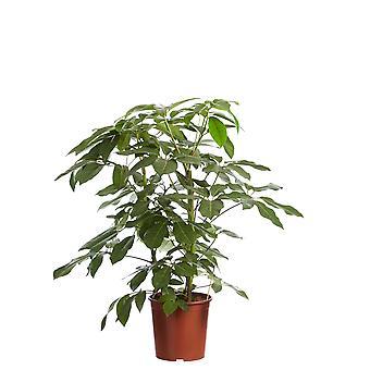 Schefflera Amate, Fingersboom - Hoogte 125 - Diameter pot 30