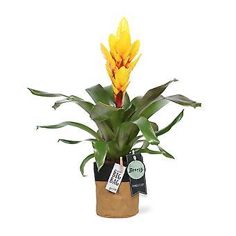 "Bromelia Vriesea Intenso Yellow + pot ""BigBag"" - Height 42 cm - Diameter pot 13 cm"