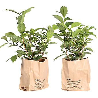 Camellia sinensis Usine de thé dans la casserole 12 cm - dans le sac en papier - ensemble de 2 morceaux - hauteur 30 cm - pot de diamètre 12 cm