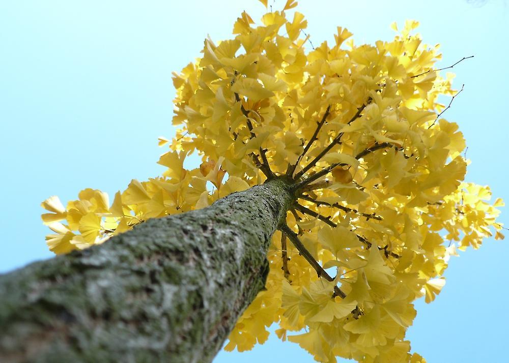 Saflax - Samen Garten to Go - 4 - tausend Baum - Ginkgo - Albero dei Ventagli - Árbol de Los Escudos - Ginkgo