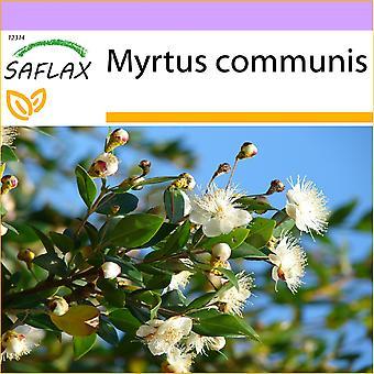 Saflax - 30 sementes - verdadeiro Myrtle - Myrte commun - Mirto - Mirto - Echte Myrte / Brautmyrte