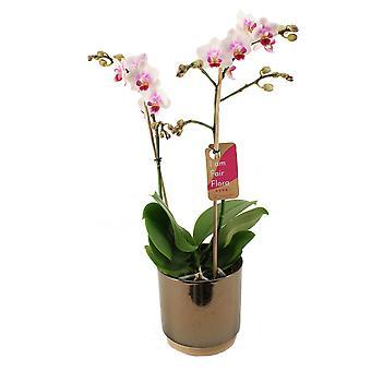 Schmetterlingsorchidee ↕ 50 cm verfügbar mit Übertopf | Phalaenopsis Pico Sweet heart