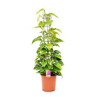 Kamerplant van Botanicly – Epipremnum pinatum Aureum – Hoogte: 130 cm