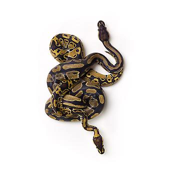 Two Ball Python Snakes Intertwined Poster Print (8 x 10)