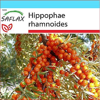 Saflax - regalo conjunto - 40 semillas - Espino - Argousier - Olivello spinoso - Espino amarillo - Sanddorn