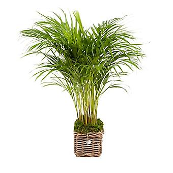 Choice of Green - Areca - Golden cane palm