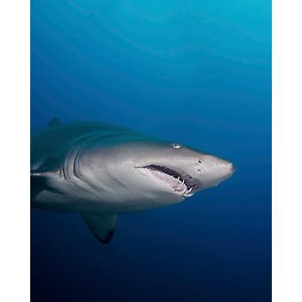 En sand tiger shark off kyst North Carolina plakat Print af Brent BarnesStocktrek billeder