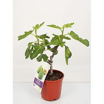 Indendørs plante fra Botanisk – Almindelig figen – Højde: 45 cm – Ficus Carica