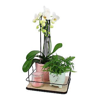 Keuze van Groen - Mother's Day Package Orchid -fern - Candle