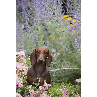 Standard Dachshund in summer garden flowers Monroe Connecticut United States of America PosterPrint